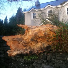 17th Century Trees Fall Foul to Winter Storms