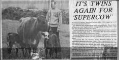 Press cutting. Patrick Walsh's super cow