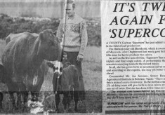 Press cutting. Patrick Walsh's super cow