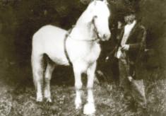 In Praise of Connemara Ponies